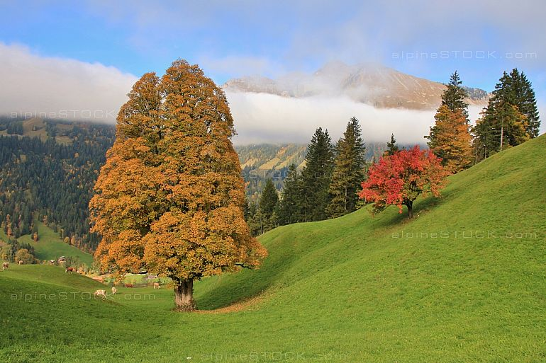 Autumn scene near Gstaad colorful trees green meadow
