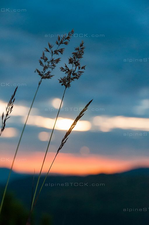 Some grass stalks in dim twilight of the setting sun
