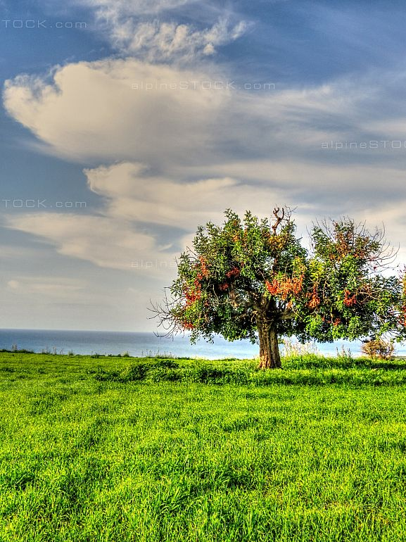 Lonely Tree on a green meadow near Paphos