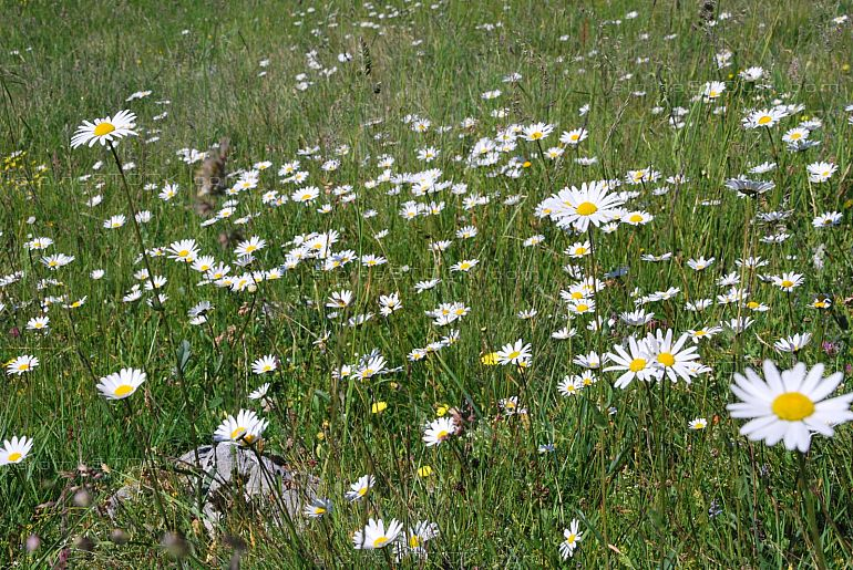 alpine meadow with blossoming ox-eye daisy