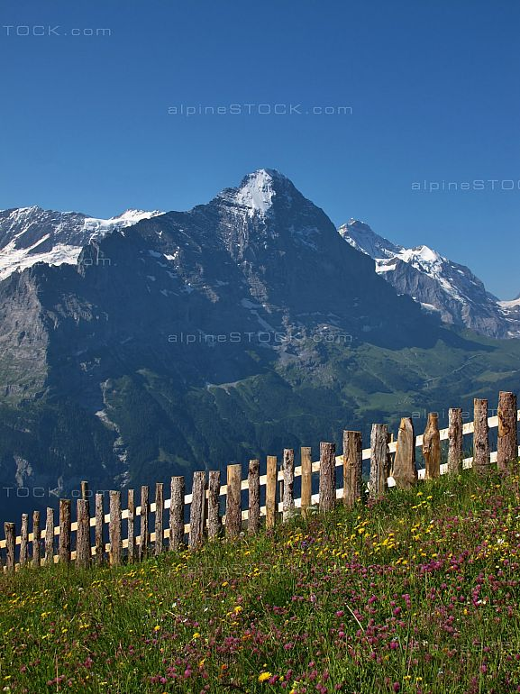 Meadow With Flowers and fence In Front Of The Eiger