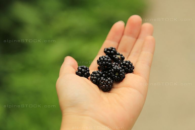 kid´s hand with freshly picked biological blackberries