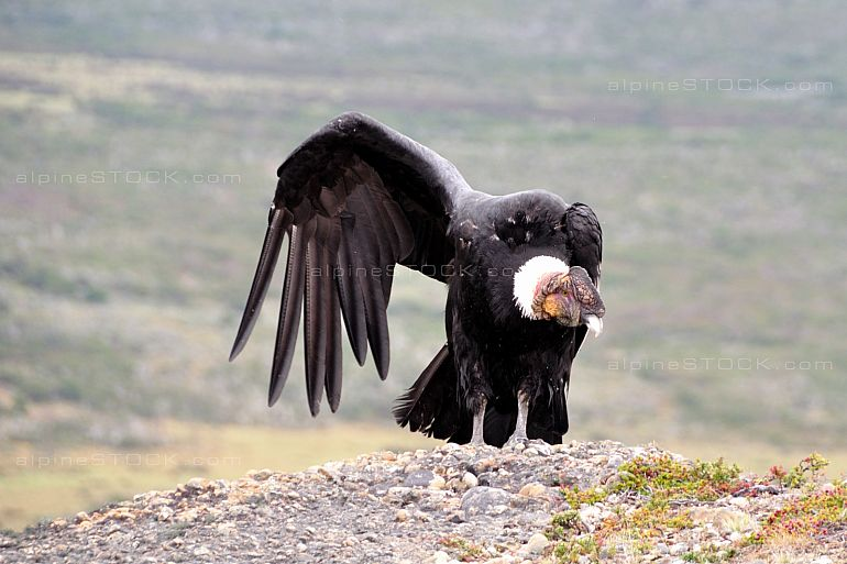Male Andean condor (Vultur gryphus) in the wild seen in Patagonia, Chile