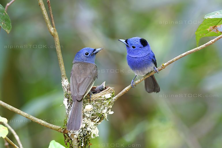 Black-naped Monarch Hypothymis azurea