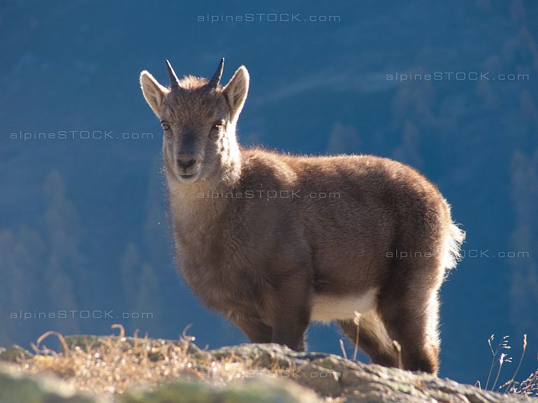 small ibex against the light