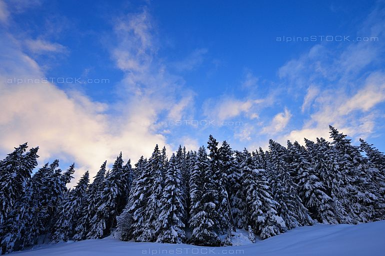 Fir Trees in Winter Wideangle