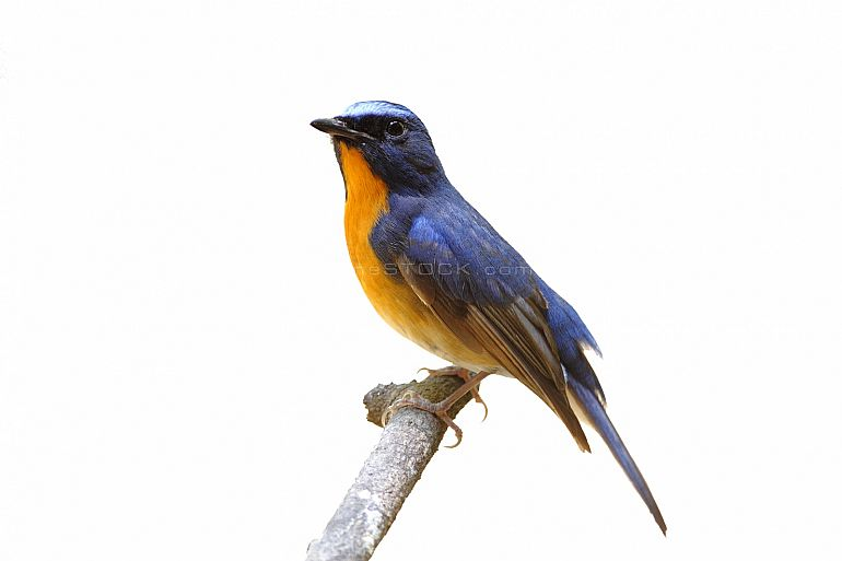 Hill blue flycatcher Cyornis banyumas