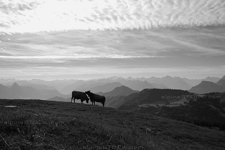 Two cows on top of the Rigi