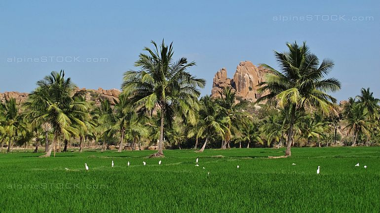 Green rice field and granite mountain in Hampi