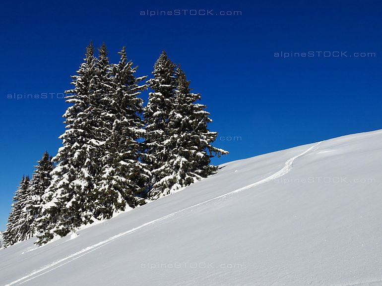 Powder snow and spruces