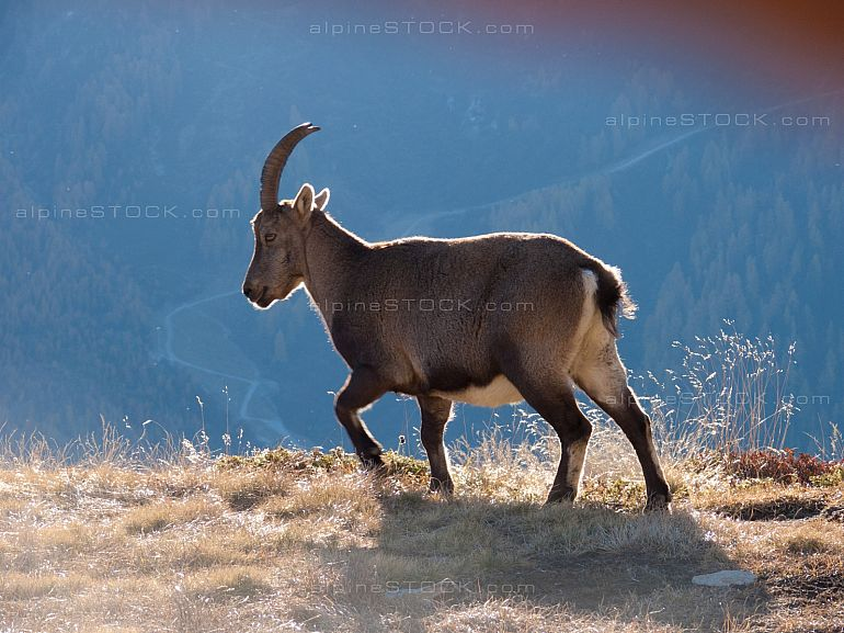 ibex against the light in the grass