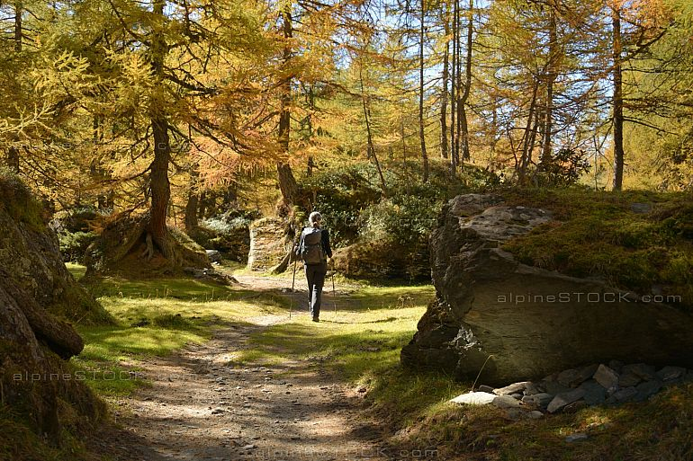 female hiker in beautiful larch forest