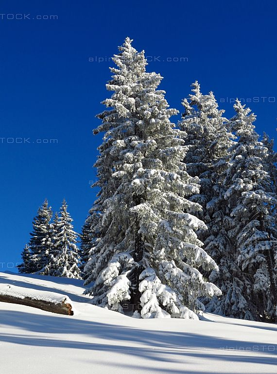 Firs in white snow and blue sky in Swiss Alps forest