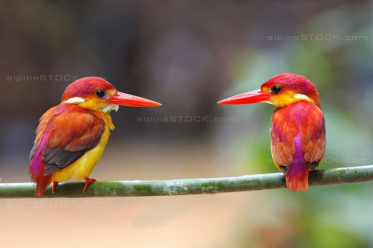 Rufous-backed Kingfisher Ceyx rufidorsa