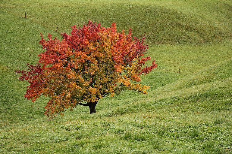 Bright colored pear tree in autumn on a meadow