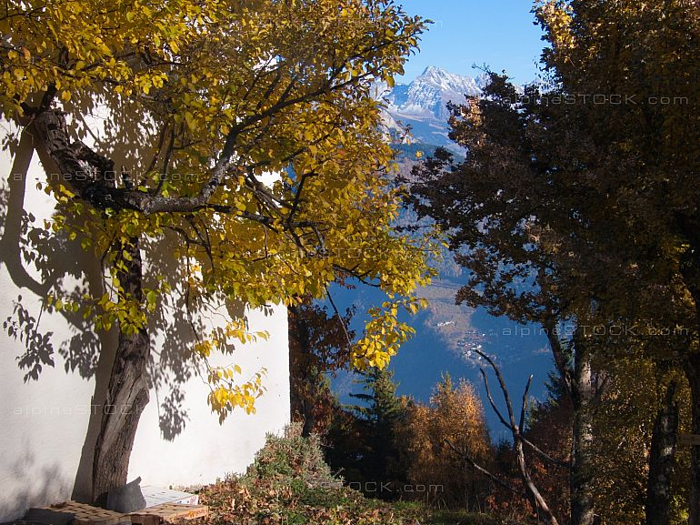 tree in autumn against a white wall