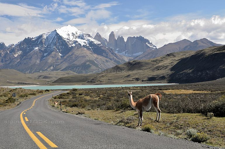 Guanaco (Lama guanicoe) at Torres del Paine national park