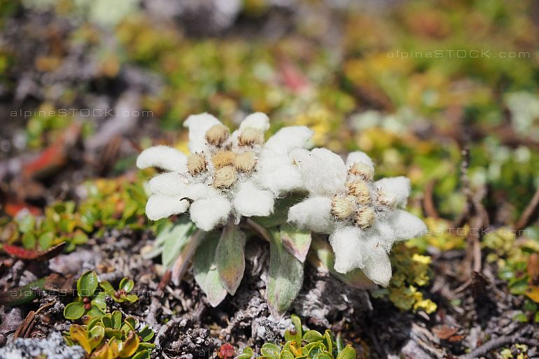 very tiny Edelweiss (leontopodium alpinum)