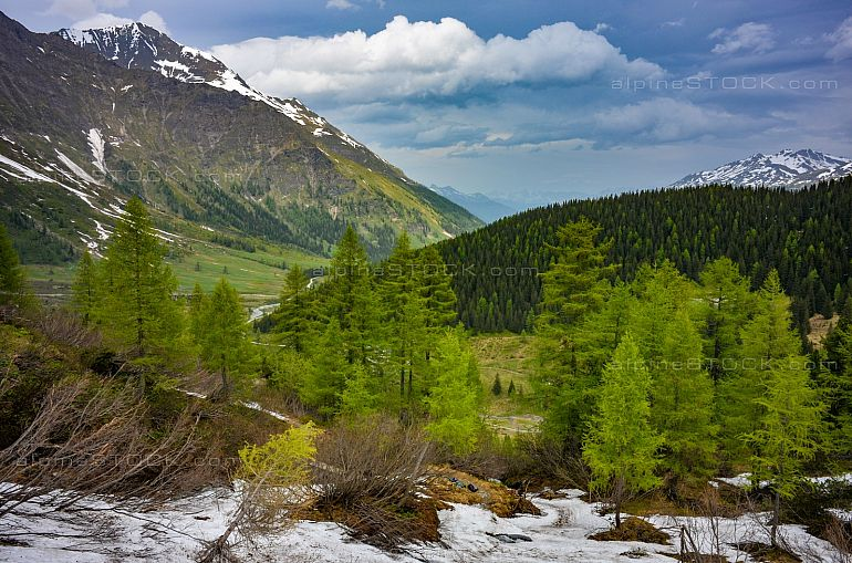 larch trees in early summer above Kolm-Saigurn