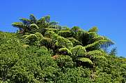 Fern trees in New Zealand