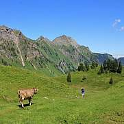 Cow looking at a hiker in the Swiss Alps