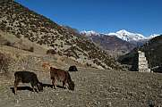 Grazing calves near Manang Nepal