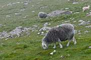 Grey sheep grazing beneath Scafell Pike, Lake District