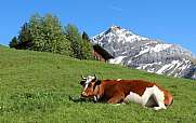 Horned Swiss cow resting on a mountain meadow
