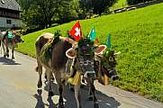 Decorated Cows Almabtrieb/Transhumance Switzerland