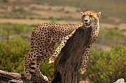 Cheetah with trunk