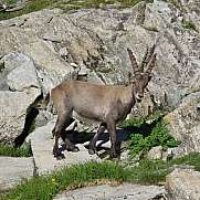 Cute alpine ibex baby rare wild animal living in the Alps
