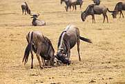 wildebeest Gnu fight Connochaetes