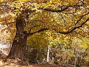 chestnut tree in autumn