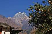 Mount Nilgiri and branch with mandarins