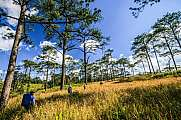 trekkers walk through thai pine forest