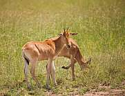 Antelopes in the grass