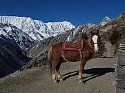 Horse and Tilicho Peak Annapurna Conservation Area