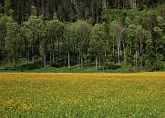 Bright yellow meadow full of wildflowers and forest