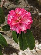Bloom of a pink rhododendron, growing in the Annapurna Conservat