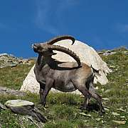 Alpine ibex scratching himself with his horns
