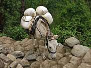 Mule carring goods on the steep trail from Lukla to Namche Bazar