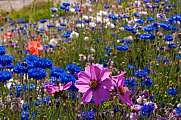 Colored flowers Cosmea Cornflowers meadow