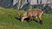 Male alpine ibex grazing on a mountain meadow