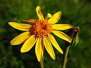 Arnica Montana medicinal plant growing in the Alps