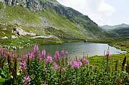 Epilobium and Lake at Gotthard pass