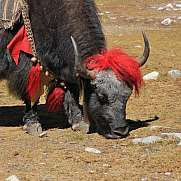 Red decorated yak photographed in Gokyo, Nepal.