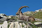 Resting male alpine ibex with big horns