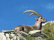 Alpine ibex resting on an alpine meadow