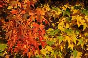 Autumnal colors - red orange green leaves