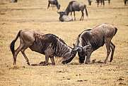 wildebeest fight Connochaetes Gnu